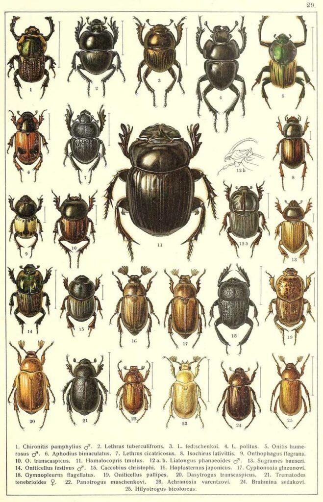 Besouros da Rússia e Europa. Fonte: Biodiversity Heritage Library.
